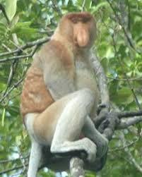 http://ayieksh04.wordpress.com/2007/07/25/habitat-bekantan-nasalis-larvatus-yang-terancam/