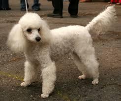 anjing pudel serem